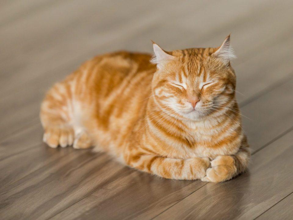 Complexo Respiratório Felino gripe de gatos